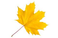 查出的叶子槭树 图库摄影