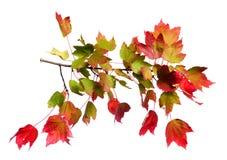 查出的叶子槭树 免版税库存照片
