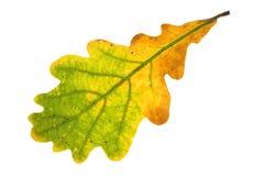 查出的叶子橡木 免版税库存照片