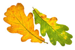 查出的叶子橡木 免版税图库摄影