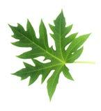 查出的叶子番木瓜白色 图库摄影
