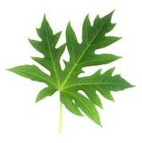查出的叶子番木瓜白色 免版税库存照片