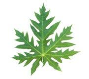 查出的叶子番木瓜白色 免版税库存图片