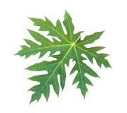 查出的叶子番木瓜白色 免版税图库摄影