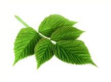 查出的叶子莓白色 免版税库存照片