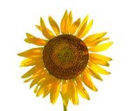 查出的向日葵白色 免版税库存图片