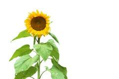 查出的向日葵 库存照片