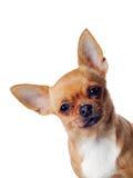 查出的奇瓦瓦狗狗 免版税库存照片