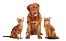查出的宠物纵向红色白色 库存图片