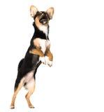 查出的小狗 免版税库存图片