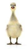 查出的少许幼鹅 免版税库存照片