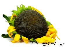 查出的成熟向日葵白色 免版税库存照片