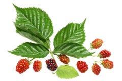 查出的成熟的浆果。 免版税库存图片