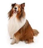查出的护羊狗舍德兰群岛白色 免版税库存图片