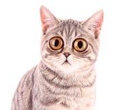 查出的新滑稽的惊奇的猫特写镜头 免版税库存图片
