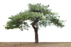 查出的杉木 免版税库存图片