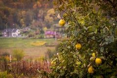 查出的柑橘 库存图片