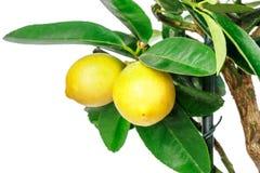 查出的柠檬树白色 免版税库存照片