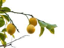 查出的柠檬树 免版税库存图片