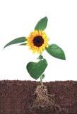 查出的根向日葵白色 免版税库存图片
