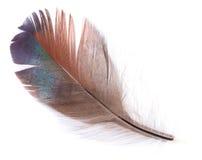 查出的棕色羽毛 免版税库存图片