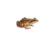 查出的棕色青蛙 免版税库存图片