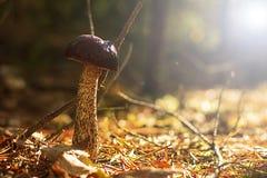 查出的森林采蘑菇白色 两足动物 库存图片
