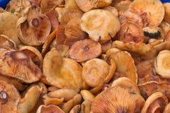 查出的森林采蘑菇白色 图库摄影
