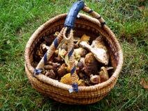 查出的森林采蘑菇白色 免版税库存图片