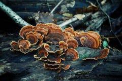 查出的森林采蘑菇白色 库存照片