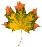查出的槭树叶子 免版税库存照片