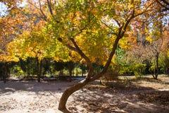 查出的槭树白色 库存图片