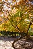 查出的槭树白色 图库摄影