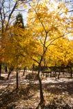 查出的槭树白色 免版税库存图片