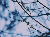 查出的槭树白色 免版税图库摄影