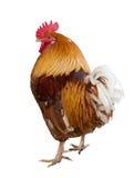 查出的橙色雄鸡白色 免版税图库摄影