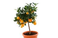 查出的橙色tengerines结构树 免版税库存照片
