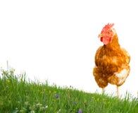 查出的母鸡 库存照片