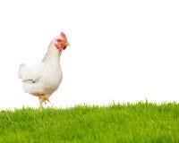 查出的母鸡 免版税库存图片
