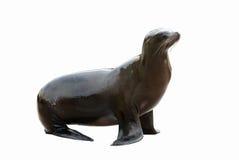 查出的海狮 免版税库存图片