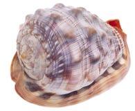查出的海运壳白色 免版税库存图片