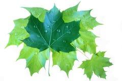 查出的湿槭树叶子 免版税库存图片