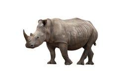 查出的犀牛 免版税库存图片