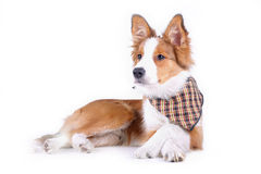 查出的狗 免版税库存图片