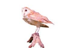 查出的猫头鹰 免版税库存图片