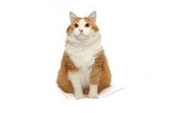查出的猫 免版税库存照片