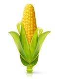 查出的玉米 免版税库存图片