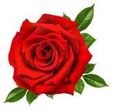 查出的玫瑰白色 库存照片