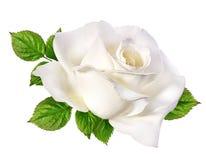 查出的玫瑰白色 免版税库存图片
