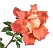 查出的玫瑰白色 图库摄影